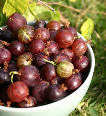 Picked gooseberries